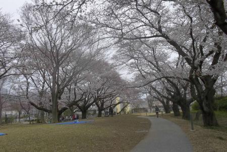 旧関東村に残った桜