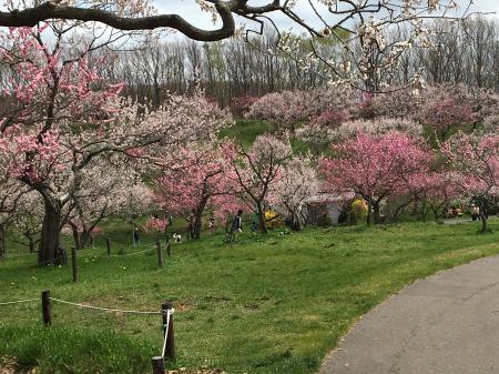 平岡公園の梅林です。