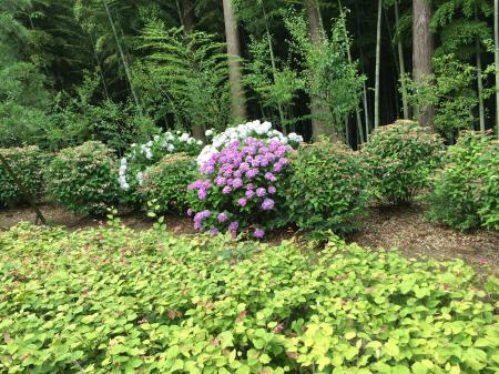 偕楽園の紫陽花